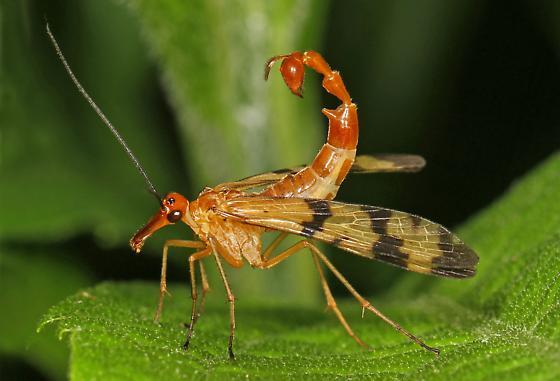 Revelation -scorpion fly
